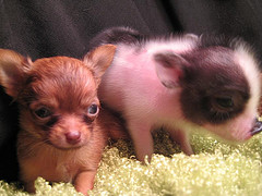 Chihuahua puppy and baby teacup piglet.