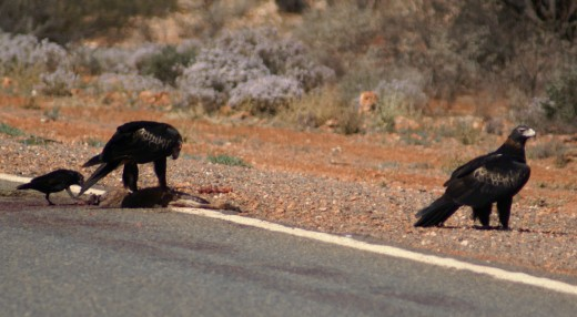 eagles feeding off the road kill