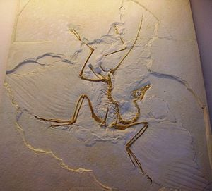 Archaeopteryx, the commonly accepted oldest known bird from the Jurassic