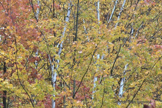 The white of birch tree trunks contrast with yellows and reds of the trees in the swamp.