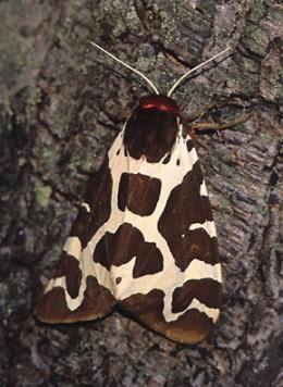 Garden Tiger Moth. Photo by Marek Szczepanek