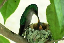 south american hummingbird nest feeding young rarely seen