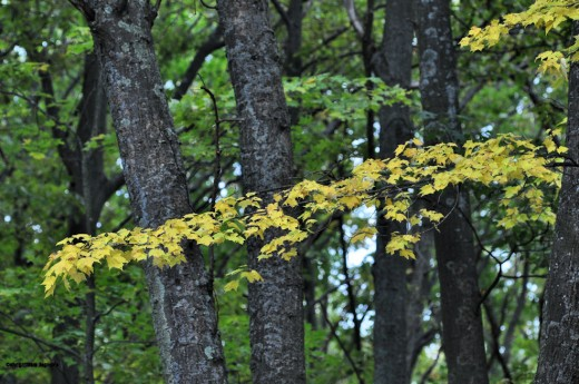 A band of yellow leaves contrasts with oak tree trunks,