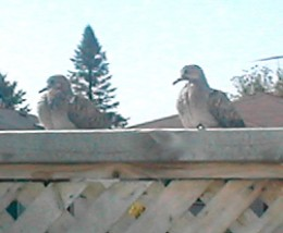 """Two little doves who would not be """"shoo""""-ed away after we visited our uncle and aunt's cinerary urn niches. They stayed hours while we ate on the deck"""