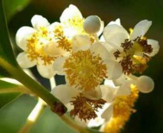 Flowers of the Tamanu tree