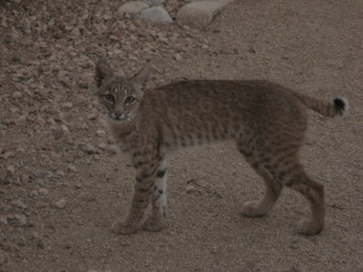 Bobcat beginning his exit from yard.