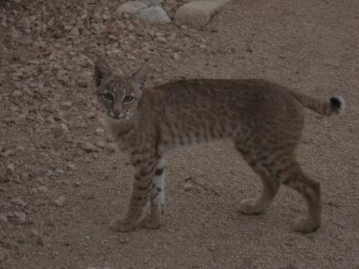 Bobcat beginning his exit from yard.