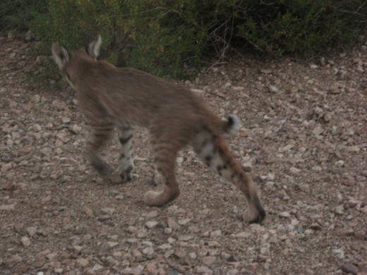 Bobcat heading back into the desert around Tucson, Arizona
