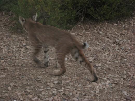 Bobcat heading back into the desert around Tucson, Arizona