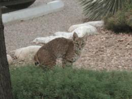Bobcat in a backyard in Tucson, Arizona