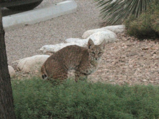 Bobcat in a backyard in Tucson, Arizona