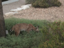 Bobcat pouncing on a small prey