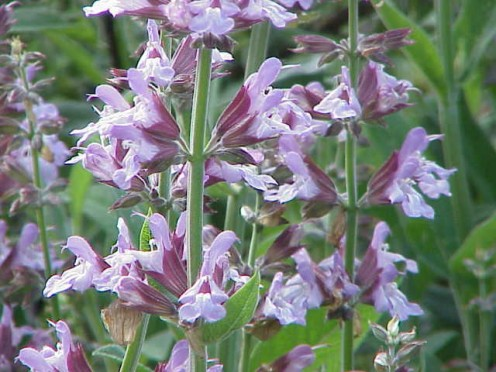 (;Name:Salvia officinalis ;Family:Lamiaceae Image no. 1 Permission granted to use under GFDL by Kurt Stueber Source: [http://www.biolib.de www.biolib.de] {{GFDL}})