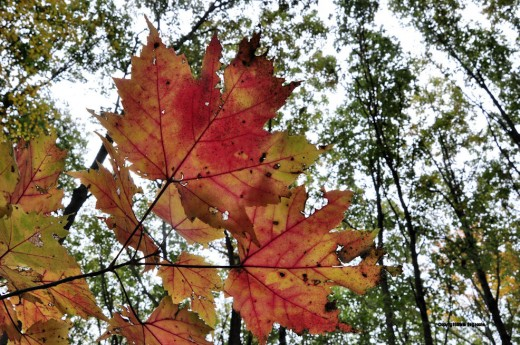 A maple that has turned red contrasts with the canopy of oaks still green.