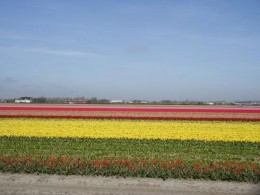 tulips,Amsterdam picture courtesy of www.tripadvisor.com/LocationPhotos-g188590-d5...