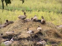 Herd of ducks in the barrio (Photo:Ireno Alcala)