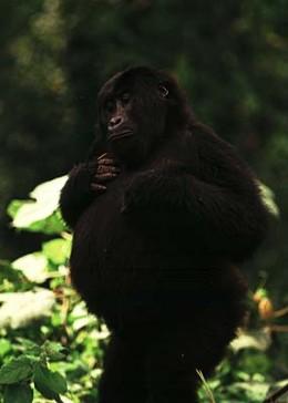 game-reserve/uganda_bwindi.html gorilla safari