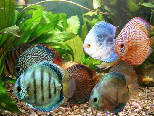 How to keep discus fish for Keeping discus fish