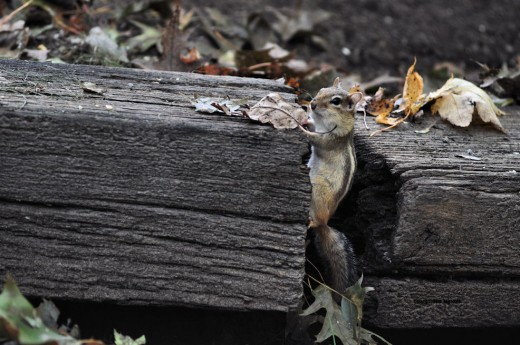 A chipmunk peers out from railroad ties under the birdfeeder in the backyard.