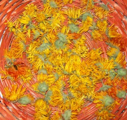 Calendula flowers drying for oil infusion
