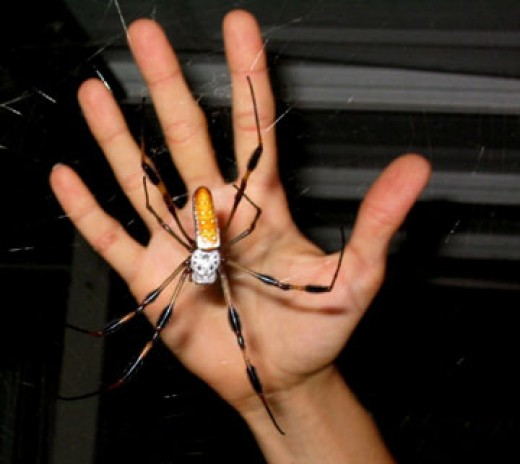 biggest camel spider in world. spider Amazing world,