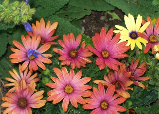More African Daisies