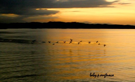 flock of birds and the golden hour