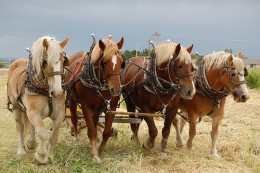 A team of plow horses work together & stay focused on the task ahead.