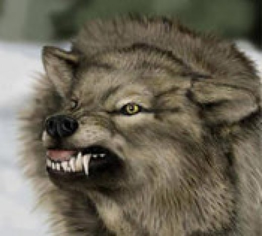 The difference between a wolf and a dog the hybrid wolf are dogs