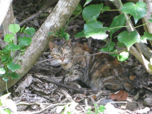Many Feral Cats live on Hawaii islands in wild habitat