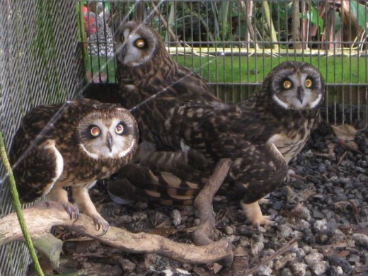 Owls being cared for in a private zoo on Maui