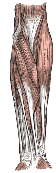 forearm muscles - exterior