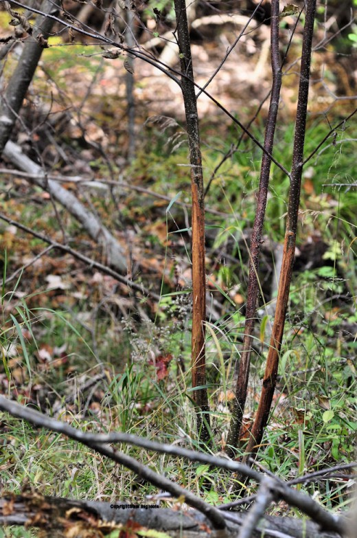 Saplings on an island in the creek show the tell-tale signs of a fresh buck rub.