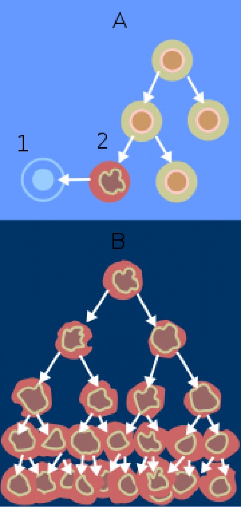 Fig. 1: When normal cells are damaged beyond repair, they are eliminated by apoptosis. Cancer cells avoid apoptosis and continue to multiply in an unregulated manner. (Wikipedia, from the National Cancer Institute, 2008).