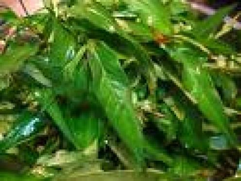 Laksa Leaves