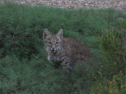 Bobcat looking for prey in tall grass