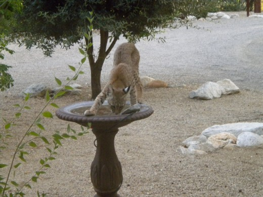 Bobcat awkwardly balanced a top a backyard bird bath