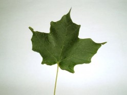 The Sugar Maple is prolific in this part of the USA.