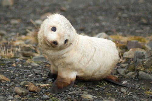 """Perhaps we could call this species aomething other than """"fur seal""""?"""