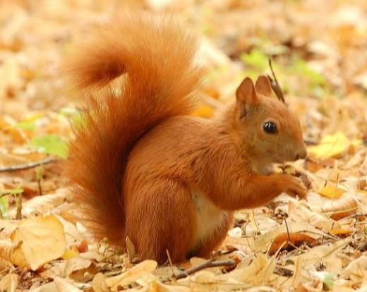 buzzbeeman.com/red-squirrel