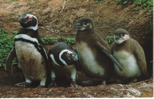 Magellanic Penguin, (Spheniscus magellanicus)