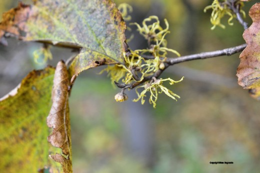 Blooms of a witch hazel tree.