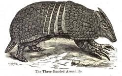 Three-Banned Armadillo.