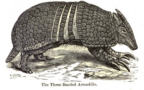Three-Banned Armadillo.