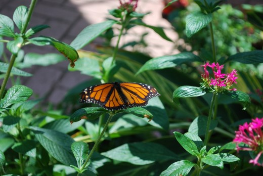 A monarch butterfly at the Toledo Zoo Butterfly Conservation Center