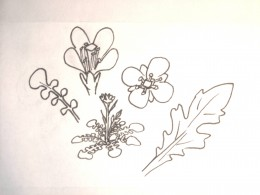 Flower and leaf shapes to look for in mustard relatives (try Pojar & McKinnon or the OSU database for more detail)