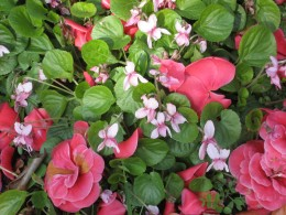 Pink violets and camelia petals