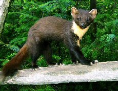THE ELLUSIVE PINE MARTEN