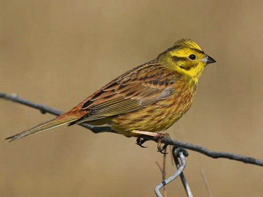 THE STRIKING YELLOWHAMMER