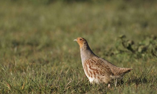 GREY PARTRIDGE IN DANGER